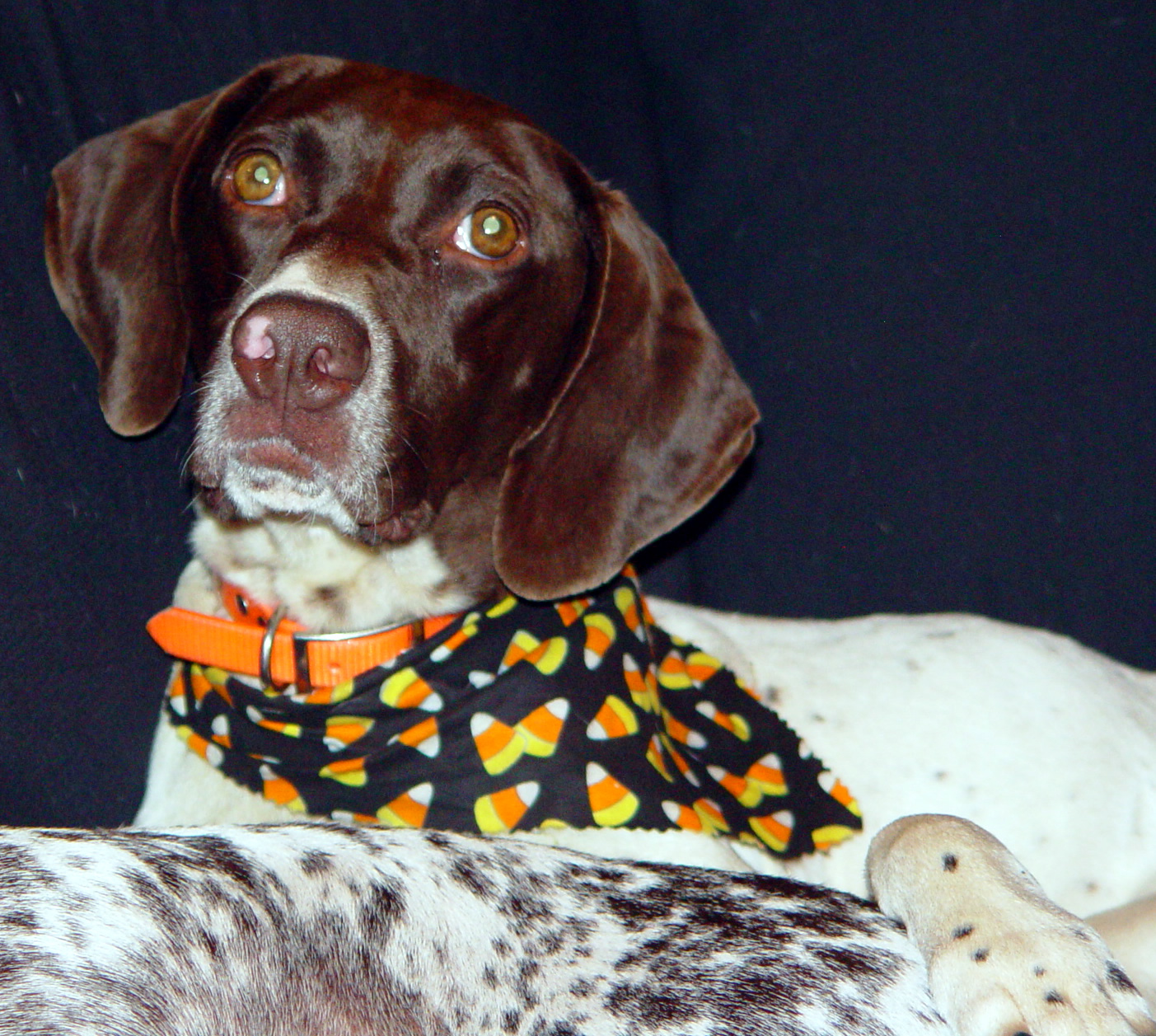 Slipstream German Shorthaired Pointers